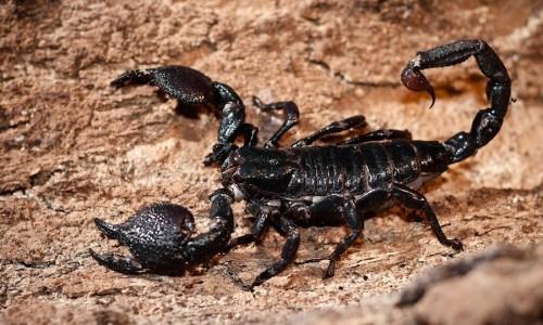 0118b9789cad La naturaleza del escorpión. - LOFF.IT